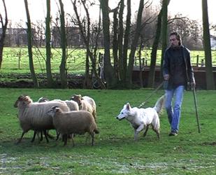 Bor, een dochter van Donjajoy of Haely's Future en Diego Maradonna von der Weissen Wolke. Zij drijft schapen, ontzettend bijzonder!
